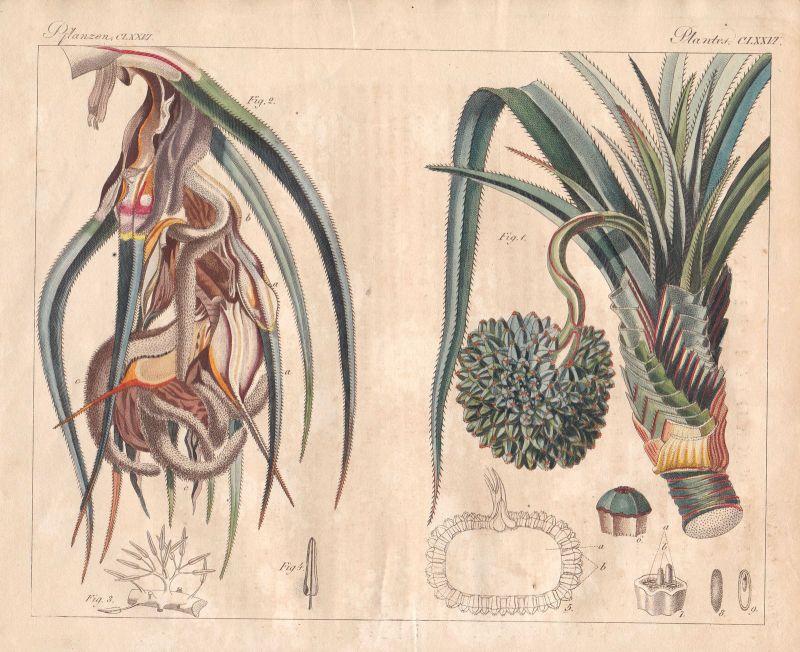 Schraubenbäume pandanus Baum tree Pflanzen plants Pflanze plant Bertuch 1800