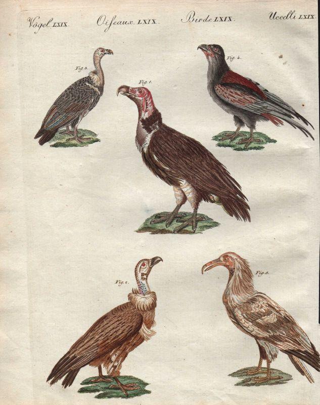 Afrikanische Asiatische Geier Vögel Vogel birds Asian African vultures Bertuch