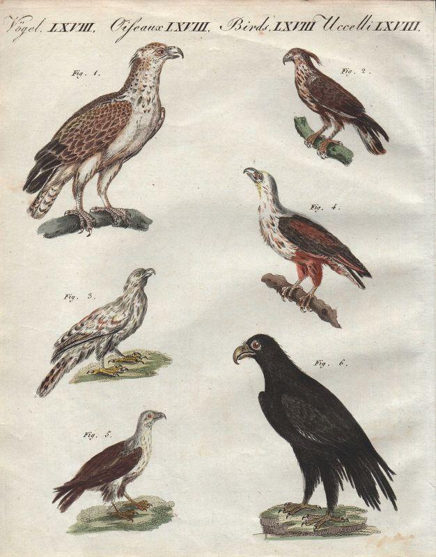 Adler eagle hawk Afrikanische Vögel Vogel African birds bird Bertuch 1800