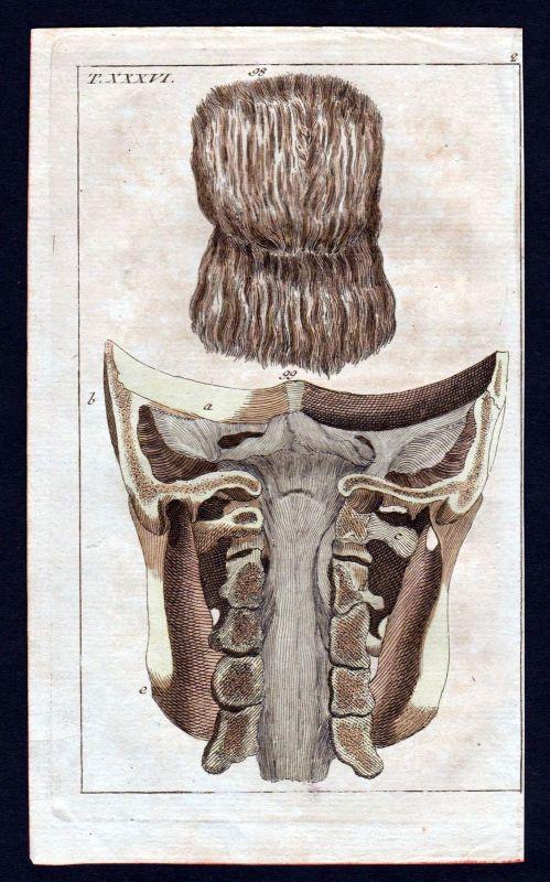 1800 cervical vertebra Halswirbel Anatomie anatomy Medizin medicine Kupferstich