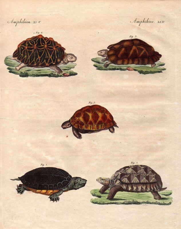 Schildkröte turtle tortois Schildkröten turtles Bertuch 1800 Kupferstich