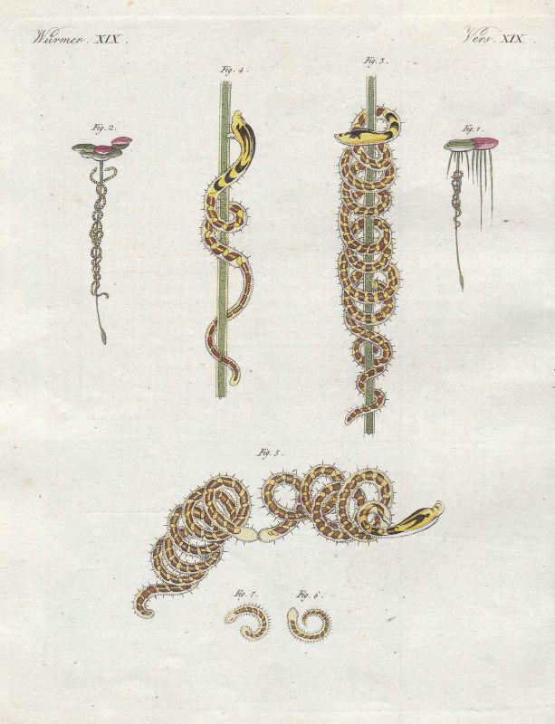 Naide Wurm worm Würmer worms Bertuch Kupferstich antique print 1800