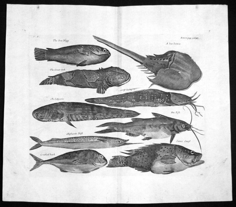1730 Indonesia Asia fish Fische Kupferstich engraving Churchill