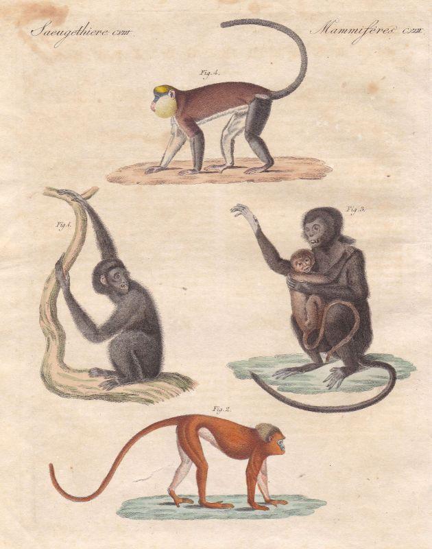 Siamang Monameerkatze mona monkey Affe Affen monkeys Primat Bertuch 1800