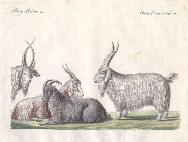 Kaschmirziege cashmere goat Ziege Ziegen goats Paarhufer Bock Bertuch 1800