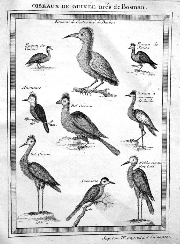 Ca. 1750 Guinea Vogel Vögel bird birds Afrika Africa Kupferstich antique  155644
