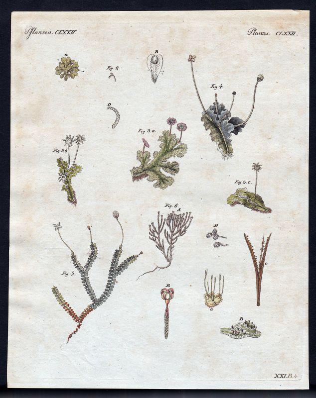 1800 Pflanzen plants Pflanze plant Kupferstich Bertuch antique print