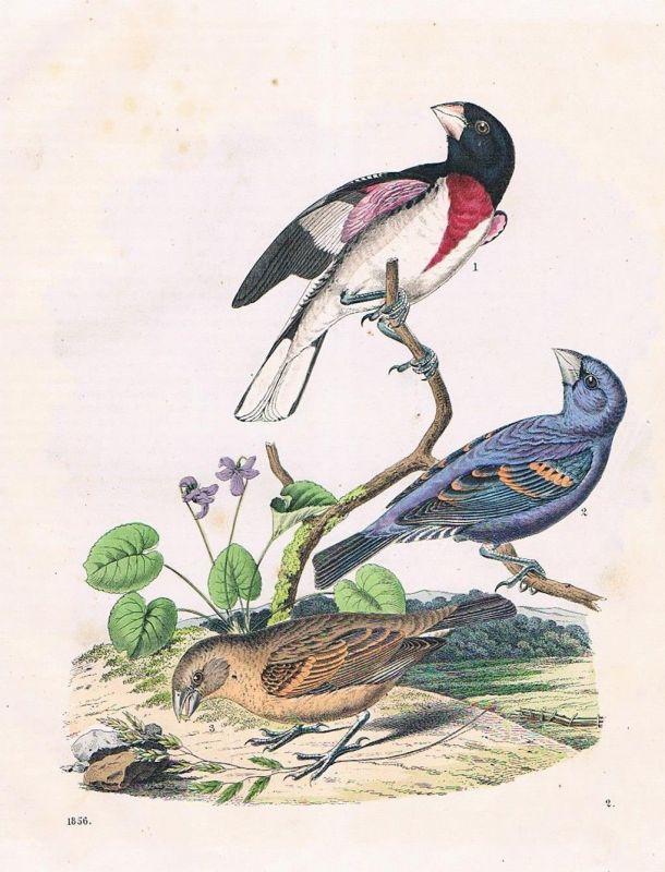 1856 - Kernbeißer Vogel Vögel birds Amerika America Lithographie lithography