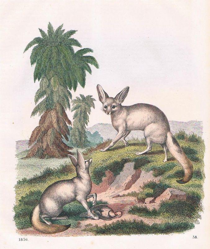 1856 - Fennek Wüstenfuchs Fuchs fox Afrika Africa Lithographie lithography