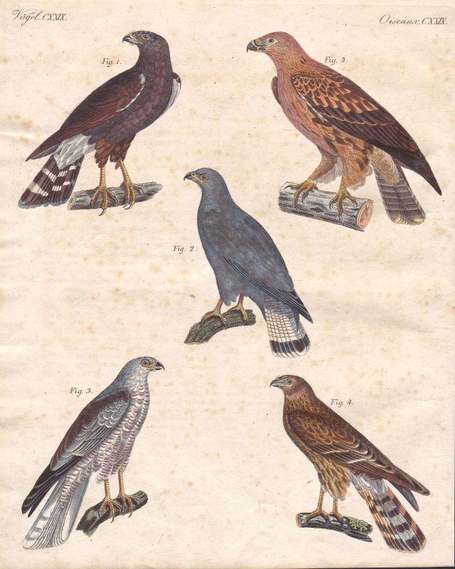 Bussard buteo buzzard Adler eagle Vogel bird Vögel birds Raubvogel Bertuch 1800