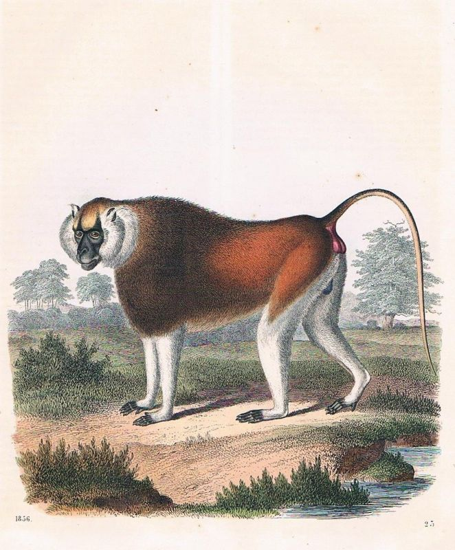 1856 - Affe Affen monkey Afrika Africa Lithographie lithography