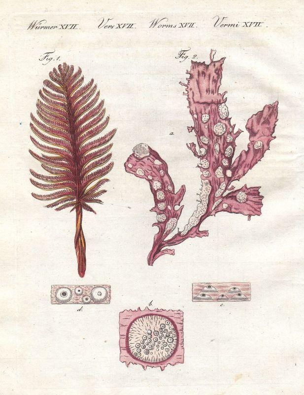 Seefeder sea pen Koralle coral Wurm worm Würmer worms Bertuch 1800 0