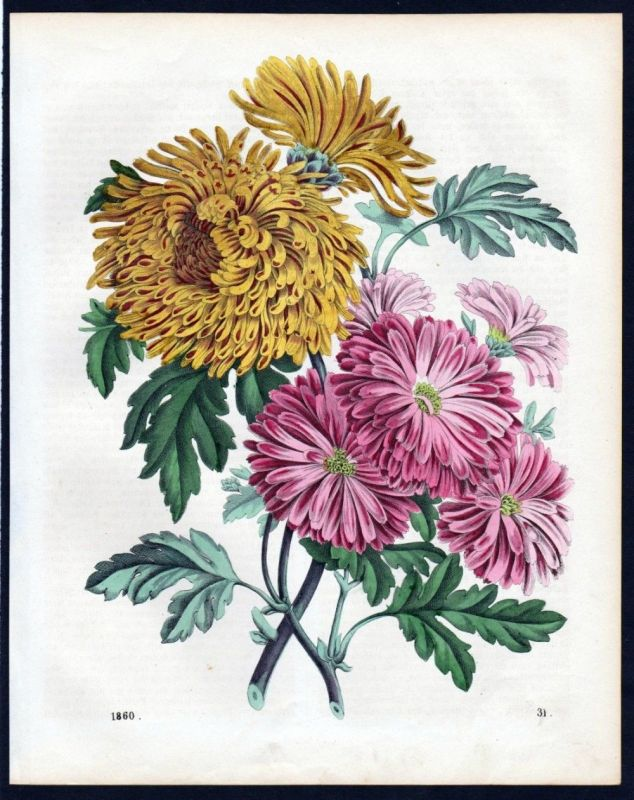 1860 - Crysantheme Blume flower Lithographie lithograph