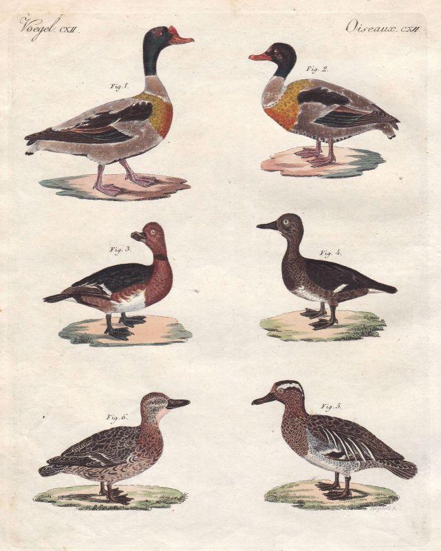 Ente duck Brandgans common shelduck Knäkente garganey Vogel bird Bertuch 1800