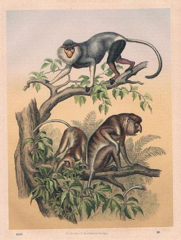 1869 - Affe Affen monkey Ostindien Indien India Lithographie lithography
