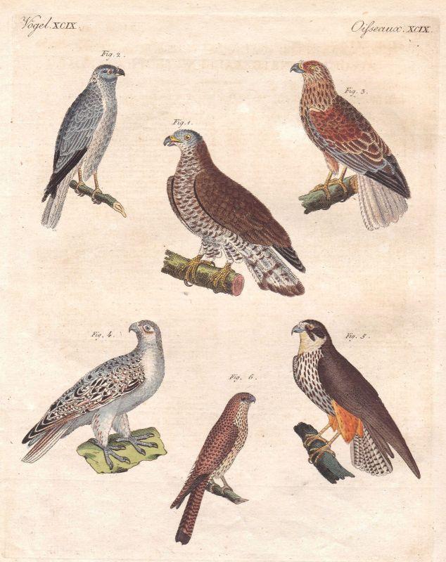 Falke falcon Falken hawk hawks Vogel birds Vögel bird Deutschland Bertuch 1800