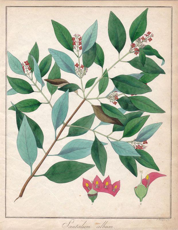 Ca. 1830 Sandelholzbaum sandalwood Botanik botany Kupferstich antique print