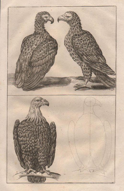 Adler Steinadler Vogel Greifvogel eagle bird etching Kupferstich antique print