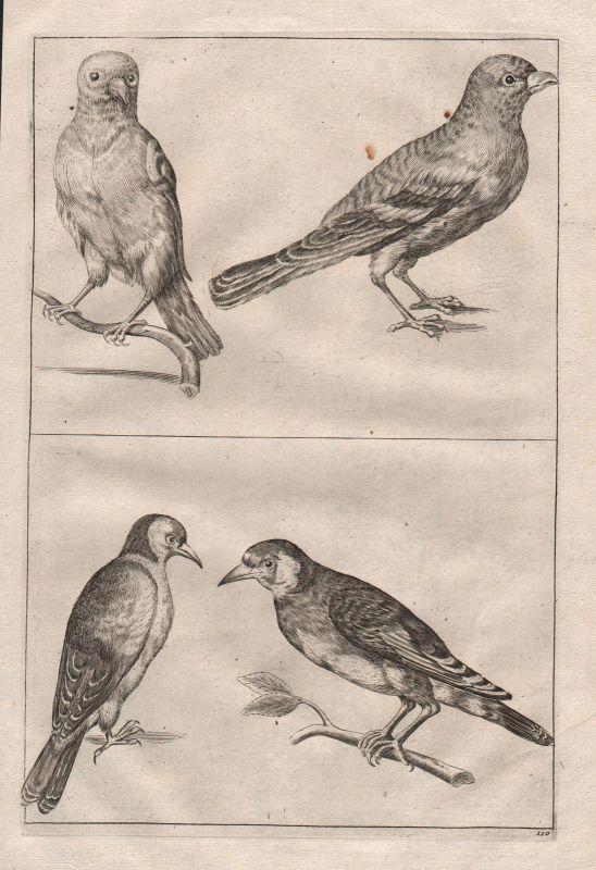 Vogel Vögel Wirbeltier bird birds vertebrate etching Kupferstich antique print