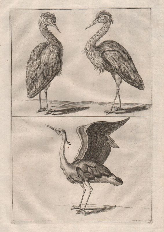 1700 Reiher Vogel Vögel bird birds heron etching Kupferstich antique print