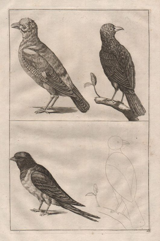 Vögel Vogel Wirbeltier - birds bird vertebrate etching Kupferstich antique print