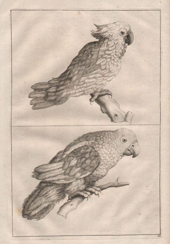 Papagei Kakadu Vogel Vögel bird parrot cockatoo birds Kupferstich antique print