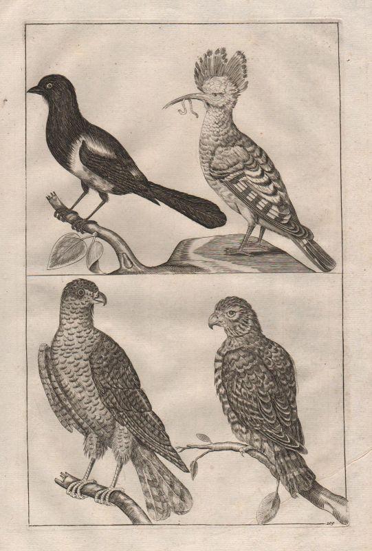 Adler Vögel Vogel Elster eagle bird magpie etching Kupferstich antique print