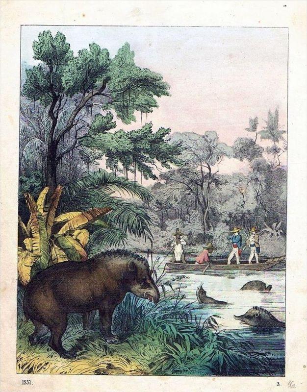 Tapir Jagd hunting Tier Tiere animals animal Original Lithographie Litho