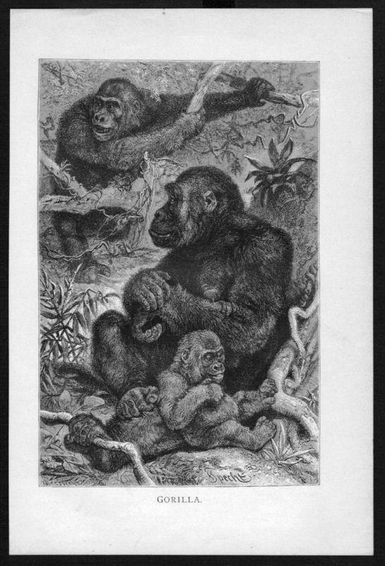 Gorilla Affe Affen monkey monkeys Original Holzstich woodcut