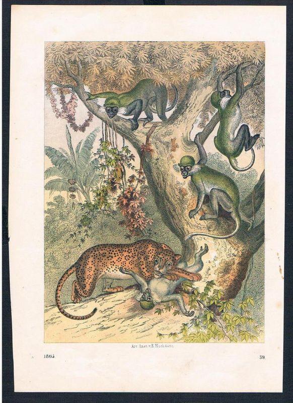 Leopard Affe Affen Jagd hunting animals animal Original Druck print