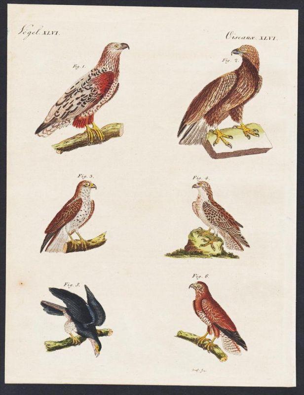 - birds of prey raptors eagle Buteo Vögel engraving antique print Bertuch