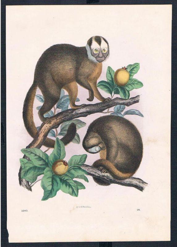 Affen Affe monkey monkeys animals animal Original Druck print