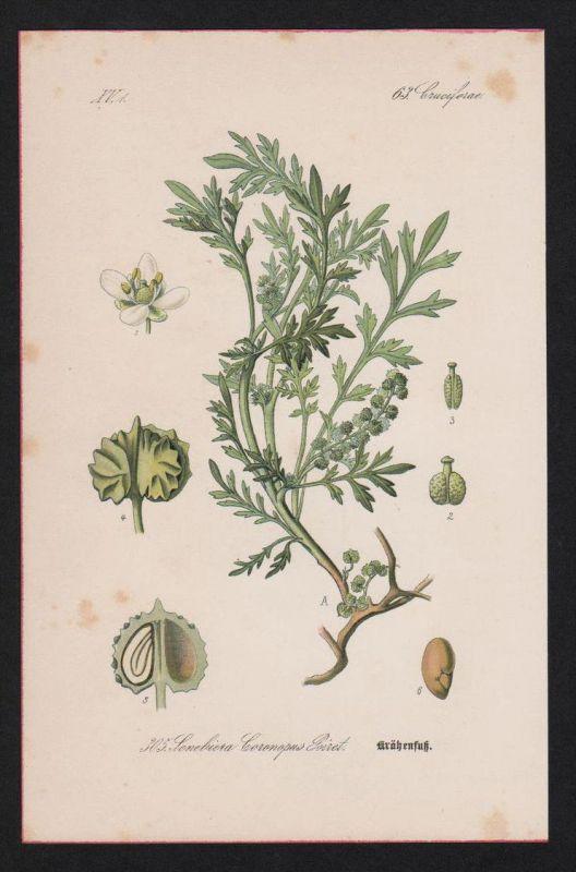 Krähenfuß Senebiera Kräuter Heilkräuter herbs herbal Lithographie