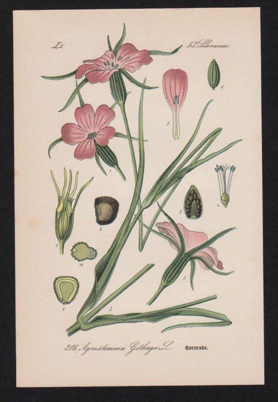 Kornrade Nelkengewächs Kräuter Heilkräuter herbs herbal Lithographie