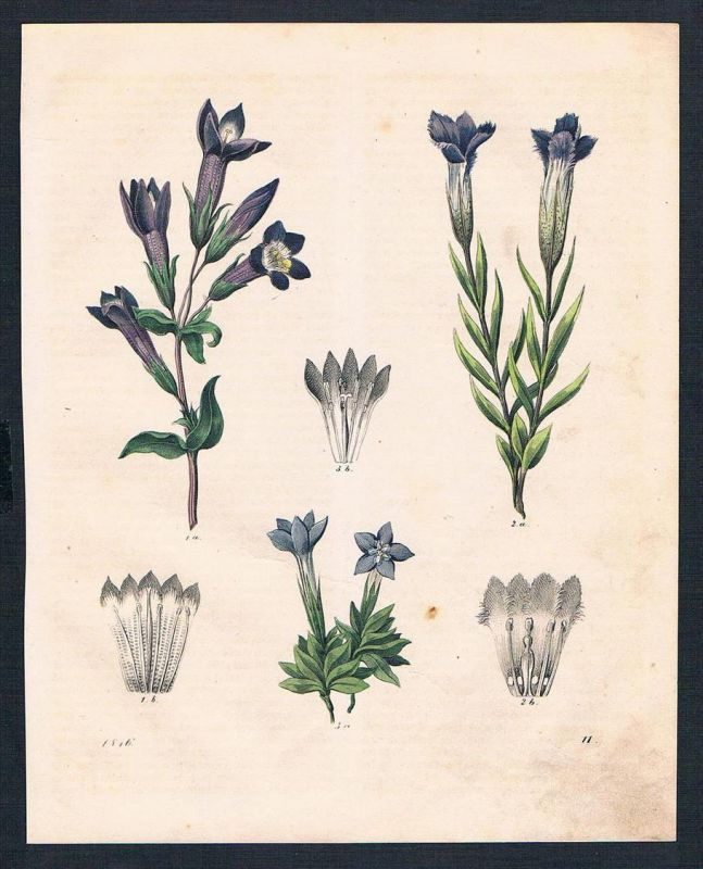 Enzian gentian Blume flower flowers Original Lithographie lithograph
