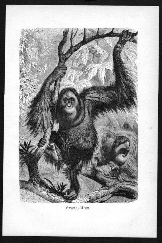 Schimpanse Affe Affen monkey monkeys Original Holzstich woodcut