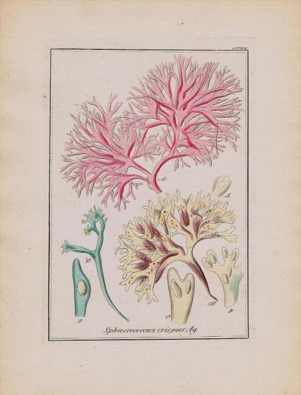 Knorpeltang Sphaerococcus Kräuter Heilkräuter herbal herbs Kupferstich