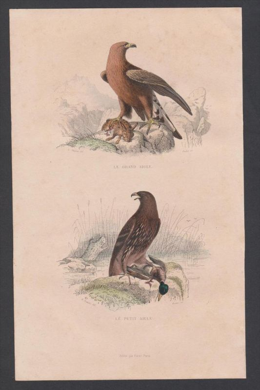 Adler eagle aigle Vögel Vogel bird birds animal Stahlstich engraving