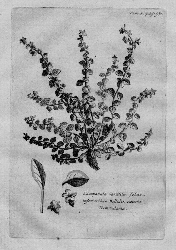 Glockenblume Campanula Heilkräuter Kräuter Kupferstich engraving