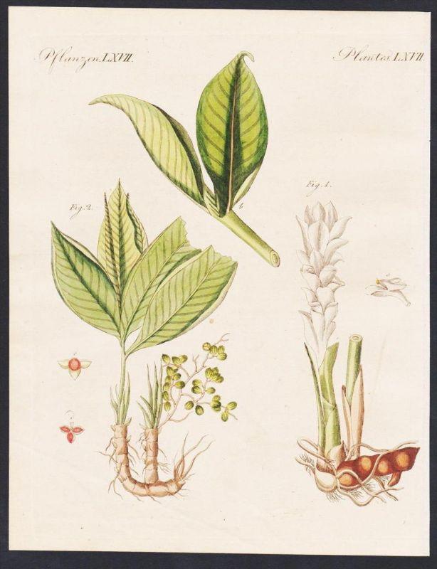 - zedoary Amomum Botanik flower botany engraving antique print Bertuch