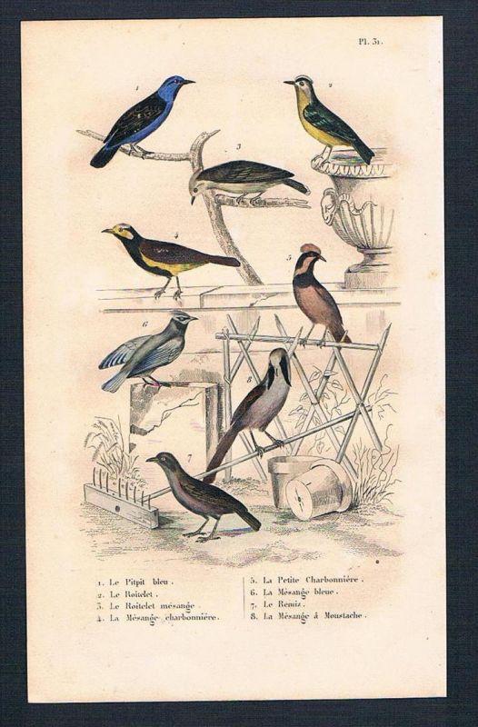 Goldhähnchen Vogel Vögel birds antique print engraving Stahlstich