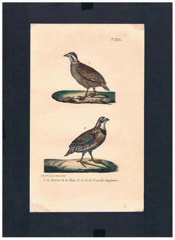 Rebhuhn grey partridge Vögel bird birds Lithographie Lithograph