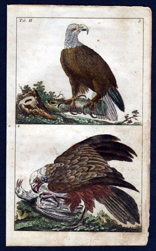 Weißkopfseeadler bald eagle Vogel Vögel bird birds Kupferstich engraving