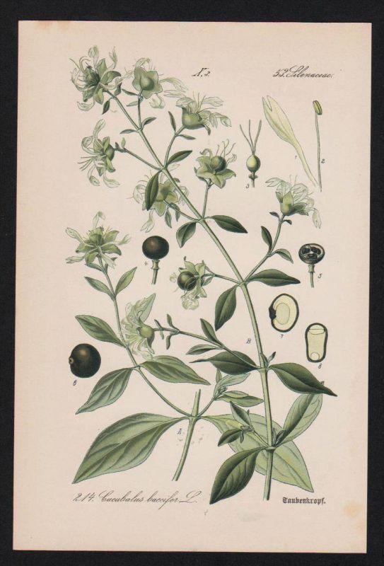 Taubenkropf Leimkraut Kräuter Heilkräuter herbs herbal Lithographie