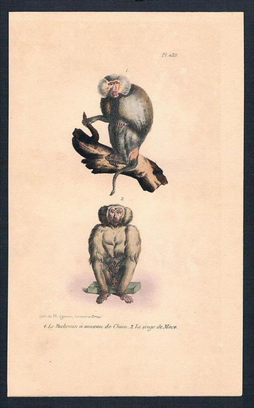 Affe Affen chinesischer Affe monkey monkeys Lithographie lithography