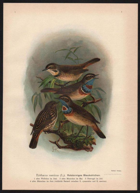 Blaukehlchen blue bird Vögel Vogel bird birds Farblithographie Naumann