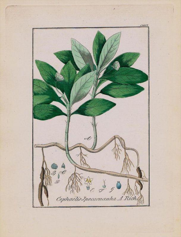 Brechwurzel Ipecacuanha Kräuter Heilkräuter herbal herbs Kupferstich