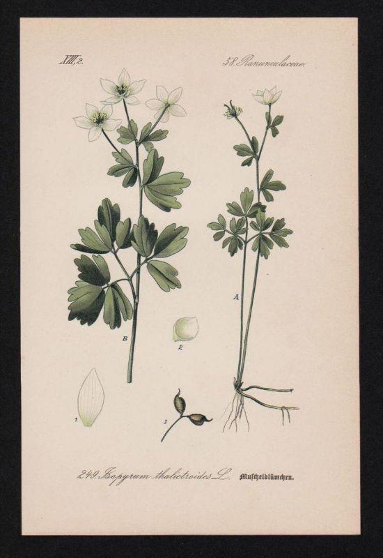 Muschelblümchen Isopyrum Kräuter Heilkräuter herbs herbal Lithographie