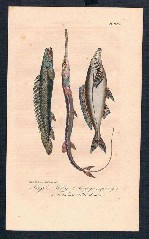 Knochenfisch Mormyridae Fisch Fische antique print engraving Stahlstich
