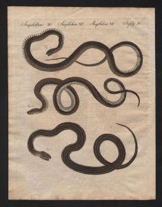Natter Nattern snake snakes Schlangen Bertuch Kupferstich engraving